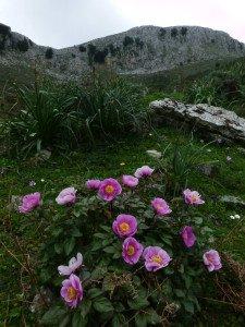 Un cespuglio di rose peonie con Montalbo sullo sfondo. L'escursione per ammirare uno dei fiori più belli della Sardegna, si può fare tra aprile e maggio